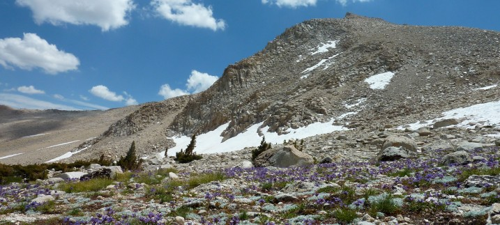 alpine wildflowers at New Army Pass, Sequoia National Park