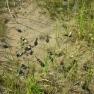 Boreal toad tadpoles