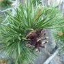 A mature lodgepole cone that has opened and released its seeds.