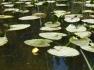 Pond lilies on Isa Lake