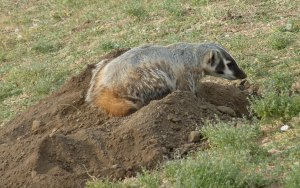 badger using its long claws to dig a burrow