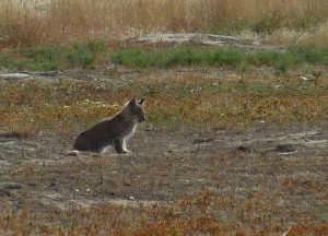 young bobcat attentively eyes nearby prairie dogs