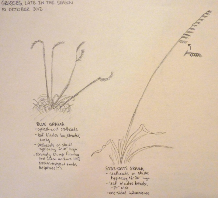 field sketches of two grasses, blue grama and side-oats grama