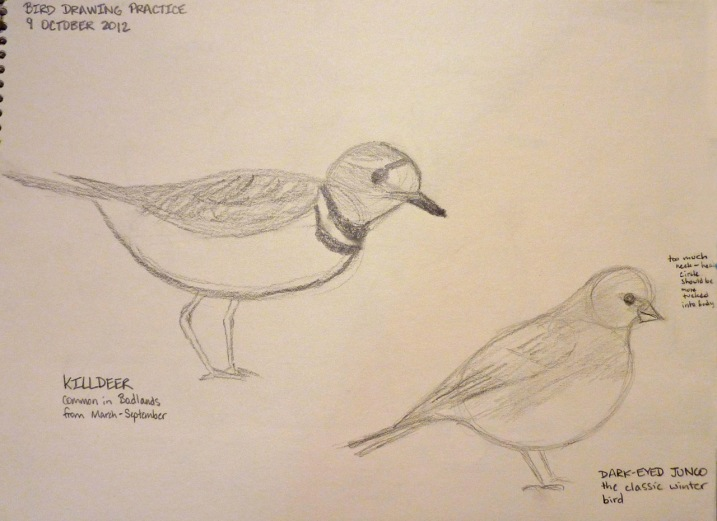 Cathy's quick sketches of a killdeer and a dark-eyed junco.