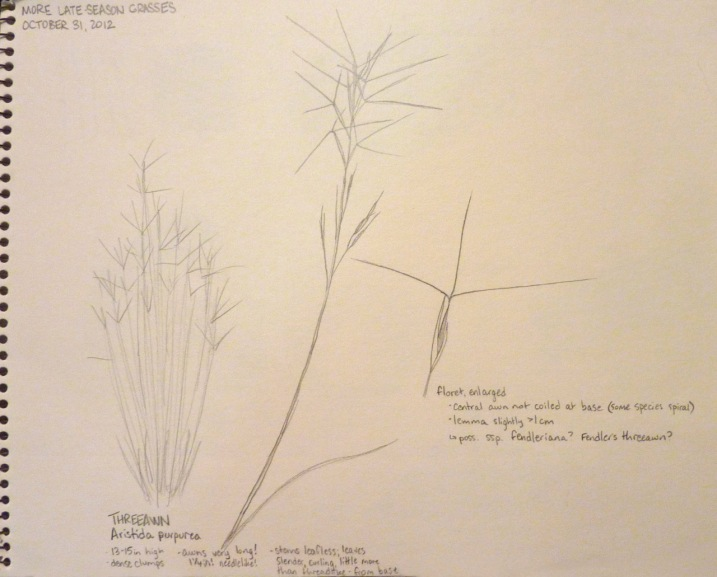 field sketches of purple threeawn grass