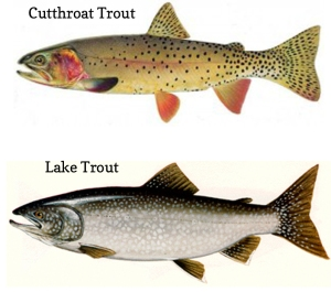 comparison of Yellowstone cutthroat trout with lake trout
