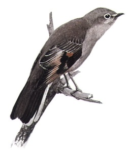 a 1907 watercolor painting of a Townsend's solitaire by master bird artist Louis Agassiz Fuertes