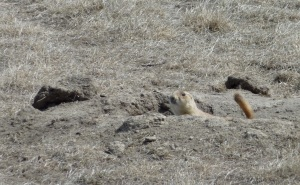 a black-tailed prairie dog peeks out of its burrow