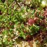 wild cranberries, not yet ripe, in a Vermont bog