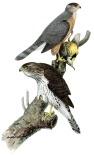 Cooper's hawks by Louis Agassiz Fuertes