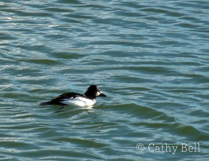 A common goldeneye, Bucephala clangula, swims in the pond in front of the Outdoor Campus - West.