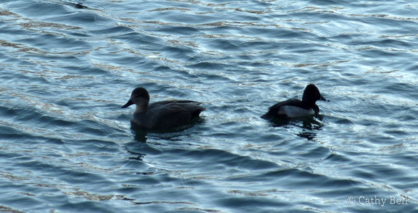 gadwall (left) and ring-necked duck (right)