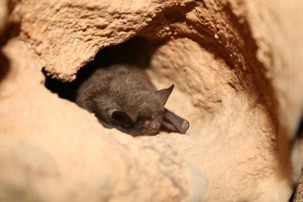 A healthy Indiana bat in hibernation. USFWS/Ann Froschauer.