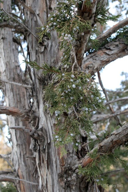 "peeling bark and bluish ""berries"" of Rocky Mountain juniper"