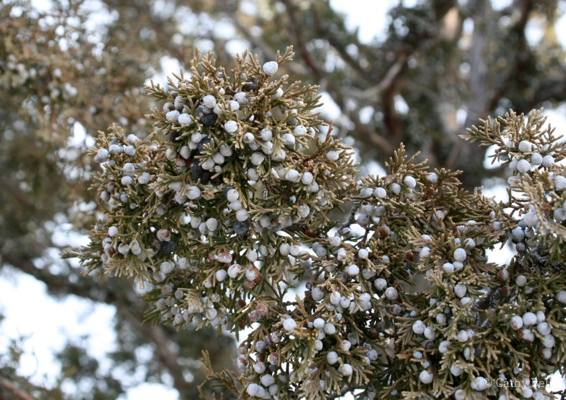 "closeup of juniper ""berries"""