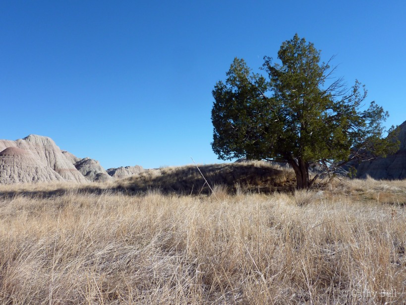 Dark green juniper against yellow prairie grasses and blue sky