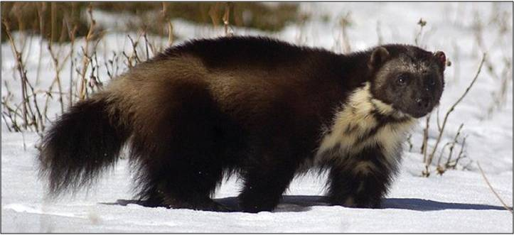 wolverine in snow - USFS image