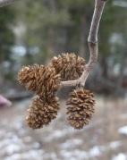 female alder catkins