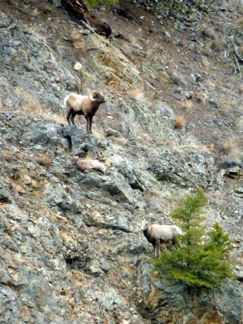 bighorn ram, lamb, and ewe on steep slope