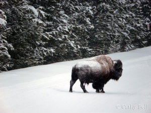 snow-covered bison in road, Yellowstone National Park