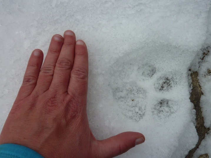 woman's hand next to mountain lion track in snow