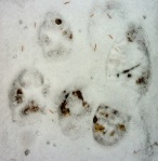 wolf tracks and a large bootprint