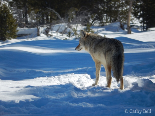A coyote trotting along the groomed trail near Castle Geyser suddenly paused, hearing something.
