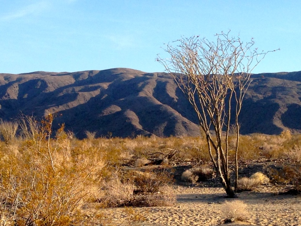 An ocotillo reaches skyward in the Pinto Basin area of Joshua Tree National Park.