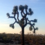 the branches of a Joshua tree silhouetted against a sunset sky